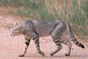 لحظه فرار مردی از حمله گربه وحشی