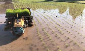 کشت برنج در شمال استان قزوین آغاز شد