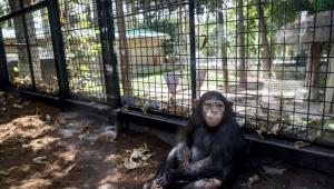 چرا شامپانزه سه ساله هنوز به خارج از کشور منتقل نشده است؟