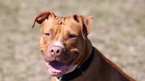 حمله مرگبار سگ پیت بول به جمجمه کودک 15 ماهه!