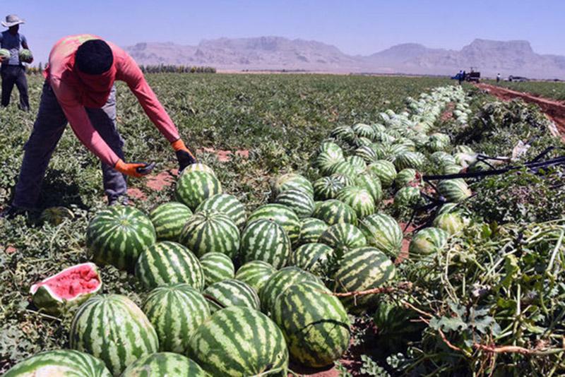 آغاز برداشت هندوانه در گچساران