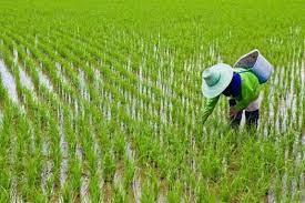 نماینده مردم خرمآباد و چگنی: در کشت برنج به کشاورزان لرستانی فشاری وارد نکنید