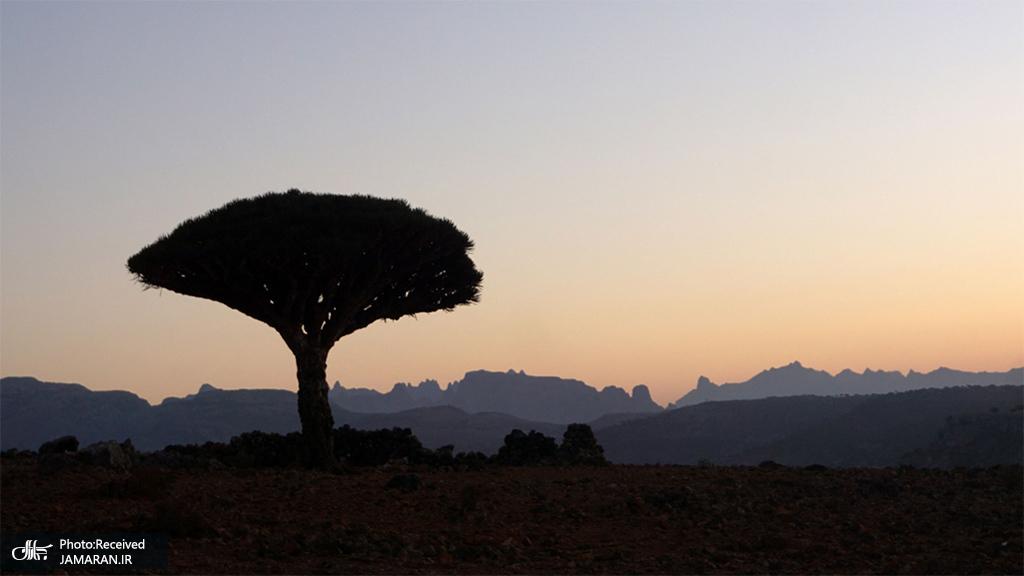 یک درخت اژدها در سحرگاه در جزیره سُقُطرای کشور یمن