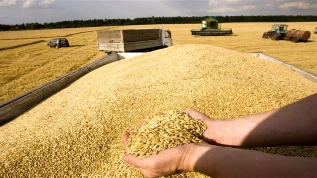 خرید گندم در مازندران از مرز ۱۱ هزار تن گذشت