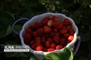 برداشت توتفرنگی در کردستان