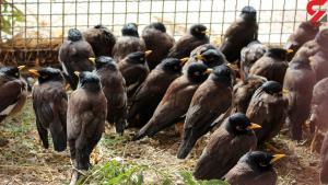 کشف ۹۵۰ قطعه مرغ مینای قاچاق در مشهد