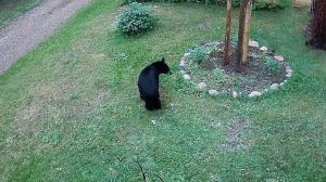 فرار خرس سیاه از سگ خانگی کوچک!