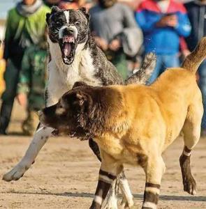 حیوانات گلادیاتور؛ وقتی جنگ حیوانات اسباب تفریح انسان میشود!
