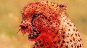 بیرون کشیدن گوساله از دهان یوزپلنگ!