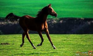 اسب حیوانی جدا نشدنی از فرهنگ ترکمن های ایران