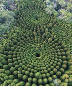 حلقههای حیرتانگیز درخت در ژاپن