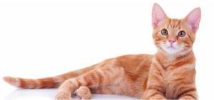 آیا همه گربههای نارنجی، نر هستند؟