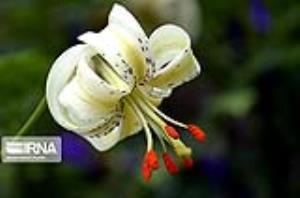 شکوفایی نادرترین گل جهان در داماش گیلان