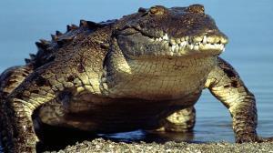 غافلگیر شدن قایقها پس از بیرون آمدن ناگهانی تمساح از آب