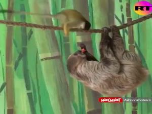 دزدیدن غذای یک حیوان دیگر توسط میمون!