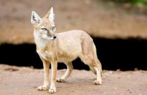 تصویر ۳ قلاده روباه ترکمنی در گنبدکاووس ثبت شد