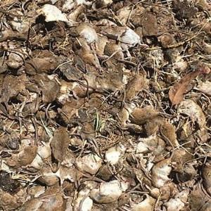 بحران ادامه دار موش ها در استرالیا