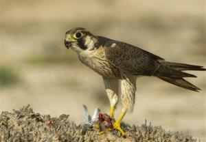 پرنده شکاریی که با کمک نیروی باد شکار رو زیر نظر گرفته