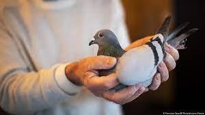 حرکت عجیب و خطرناک برای گرفتن یک کبوتر!