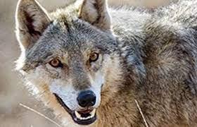 حمله گرگ به روستائیان در تفرش ۵ مصدوم بهجا گذاشت
