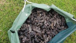 هجوم میلیون ها موش خواب را از مردم استرالیا گرفت!