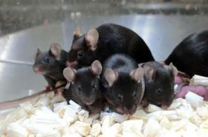 تولد بچه سالم از اسپرم موش فضایی!