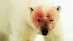 شبیخون خرس قطبی به گرازهای دریایی