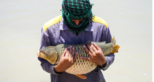 ماهی بزرگ در بازار شهر نجف عراق