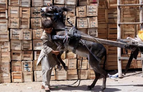 بارکشی از الاغ در پیشاور پاکستان