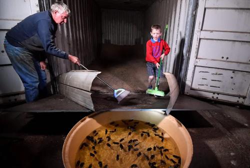 جمع کردن موش در یک انبار ذخیره گندم توسط کشاورز استرالیایی!