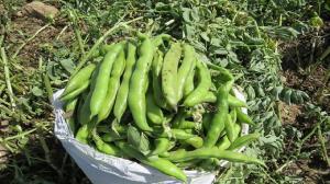 برداشت محصول باقلا در طارم آغاز شد