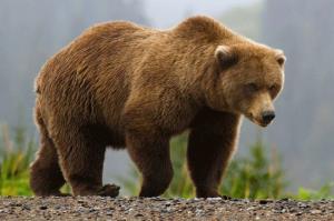 حمله دیدنی خرس به گوزن