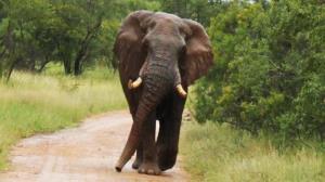 فیل خشمگین، مراسم عروسی را بهم ریخت!
