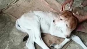 تولد گوساله دو سر با چهار چشم در هند