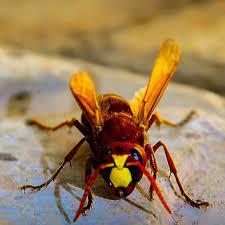 انتقام زنبور عسل از زنبور سرخ