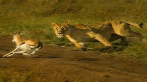 غزال تیز پا، شیر شکارچی را فریب داد!