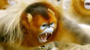 جنگ وحشیانه میمونهای بینی طلایی برای جفت یابی!
