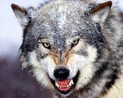 سرانجام دلخراش دست درازی به خوراک گرگ!
