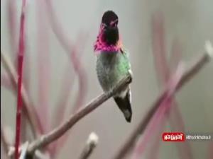 پرنده ایی که 62 رنگ عوض میکند!