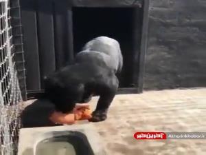 پذیرایی از پلنگ با مرغ بریان