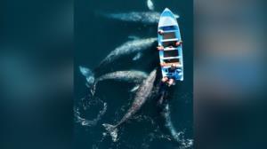 اجتماع دیدنی نهنگها کنار یک قایق