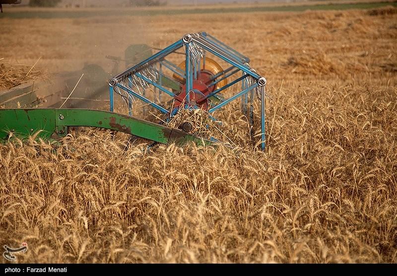 کاهش ۲۰۰ درصدی برداشت گندم آبی در بوشهر نسبت به سال گذشته