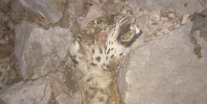 واکنش فراکسیون محیط زیست مجلس به تلف شدن یک قلاده پلنگ در کوه حاتم