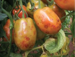 جهاد کشاورزی: کشاورزان بوشهر مراقب ویروس «روگوز» گوجه فرنگی باشند