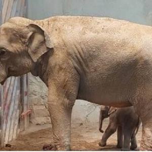 آخرین وضعیت «بچه فیل» ارم و ماده «گورخر آفریقایی» صفادشت
