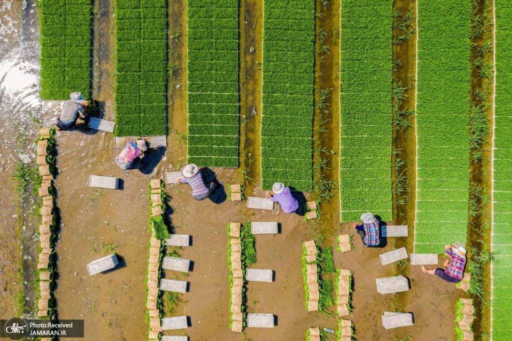 نمای هوایی شالیزار برنج در چین