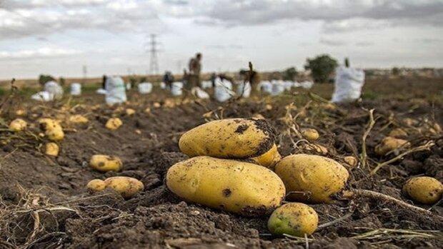 کاهش کشت سیبزمینی در شهرکرد