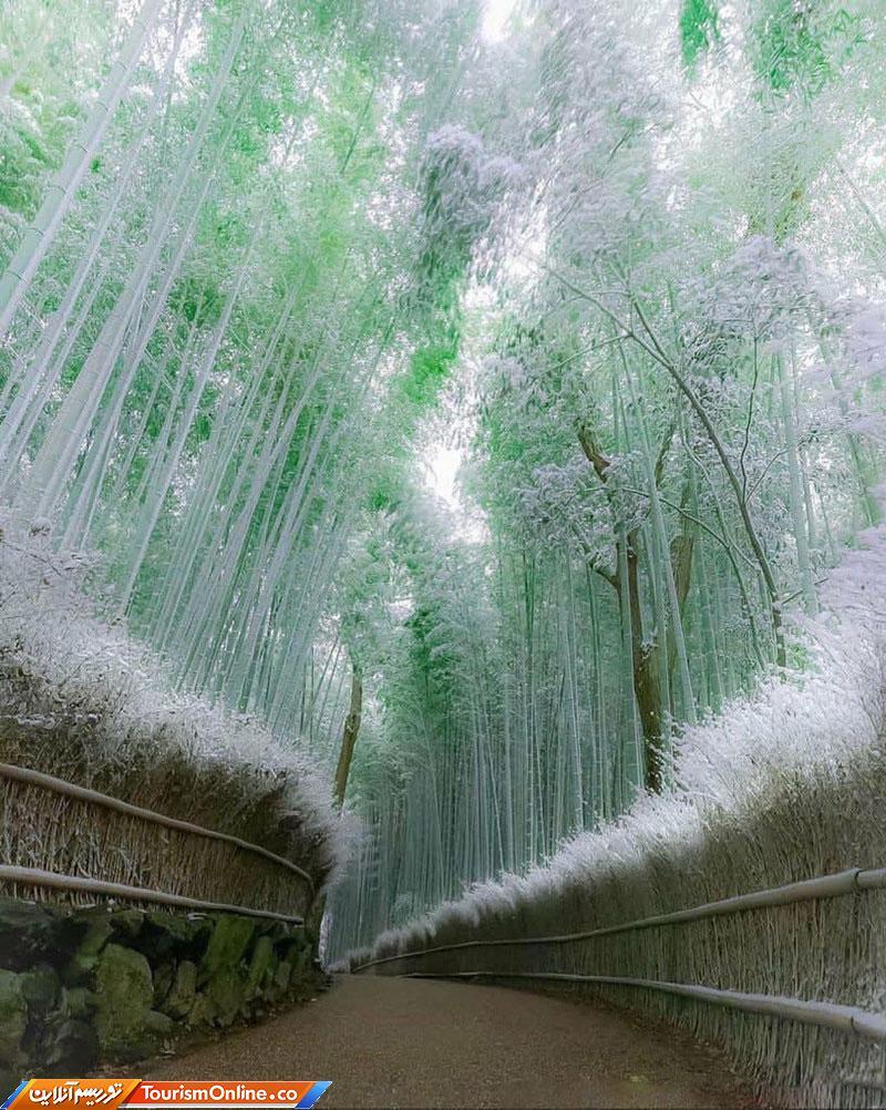 گذرگاهی رویایی میان درختان بامبو