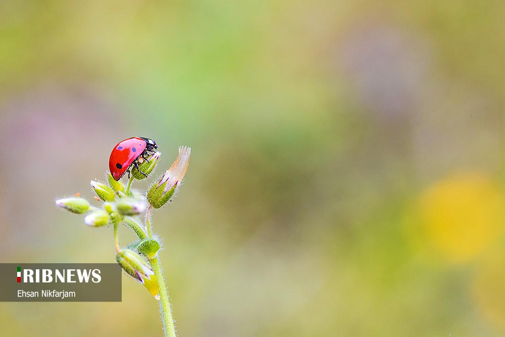 گلهای وحشی بهاری در طبیعت زیبای مازندران