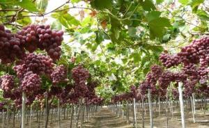 برداشت ۳۵ هزار تن انگور یاقوتی در سیستانوبلوچستان